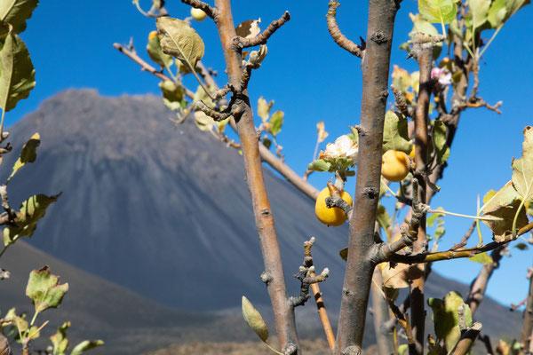 Apfelbaum mit Frucht und Blüte