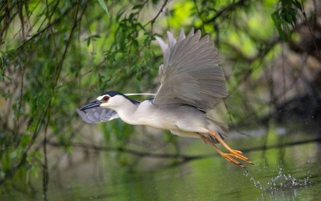 Nachtreiher (Night Heron)