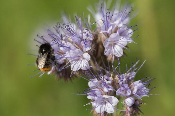 Bienenglück mit Hummel