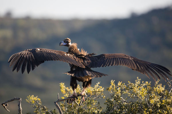 Mönchsgeier (Black Vulture)