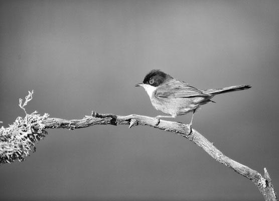 Samtkopfgrasmücke Extremadura