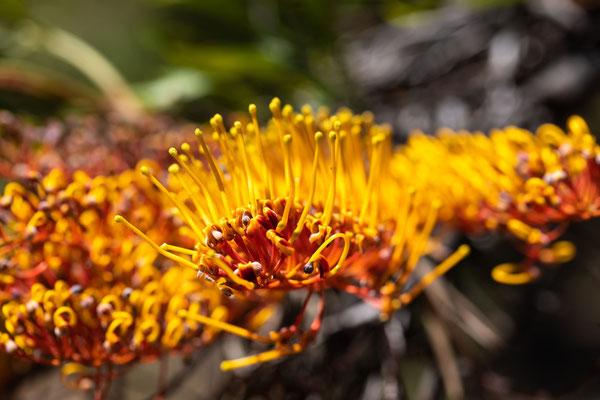 Blüte des Grevillea-Baumes