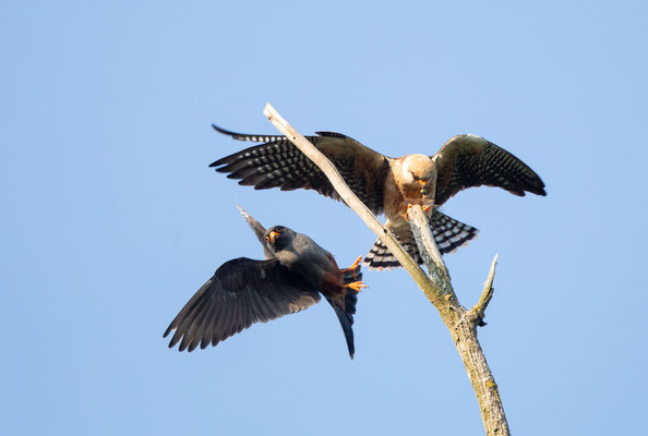 Rotfussfalke (Red-footed Falcon)