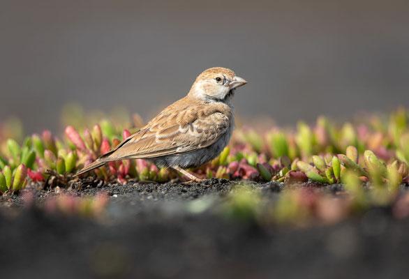 Weißstirnlerche (weiblich) (black-crowned sparrow lark)