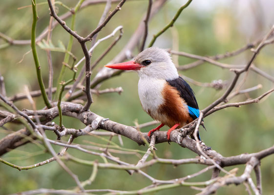 Graukopfliest (gray-headed kingfisher)