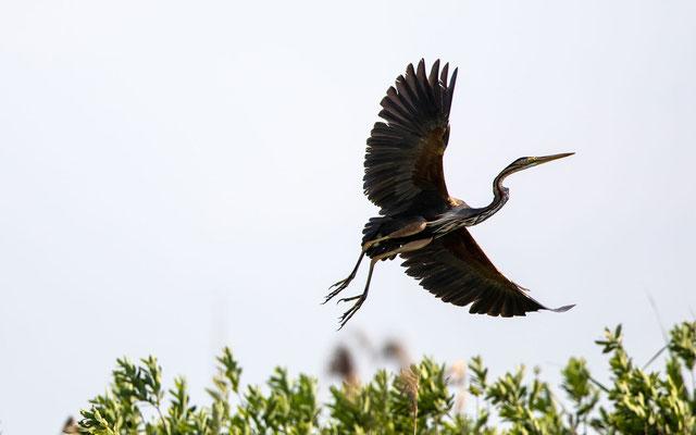 Pupurreiher (Purple Heron)