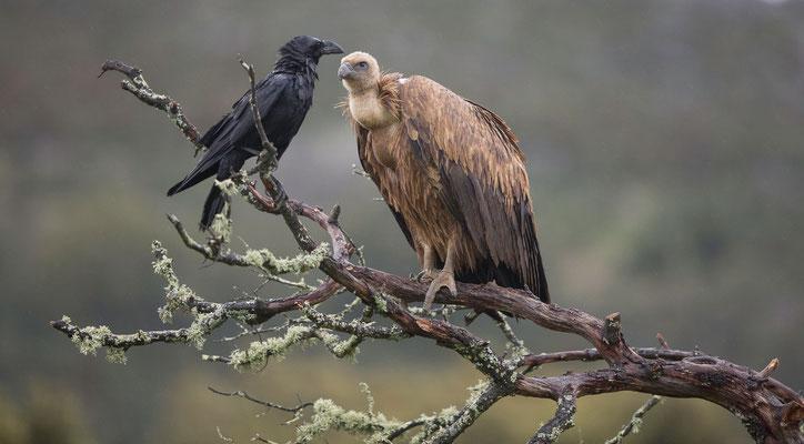Gänsegeier und Kolkrabe (Griffon Vulture and Raven)