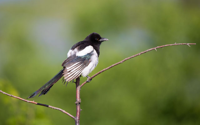 Elster (Magpie)