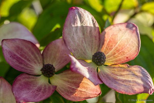 Blumenhartriegel