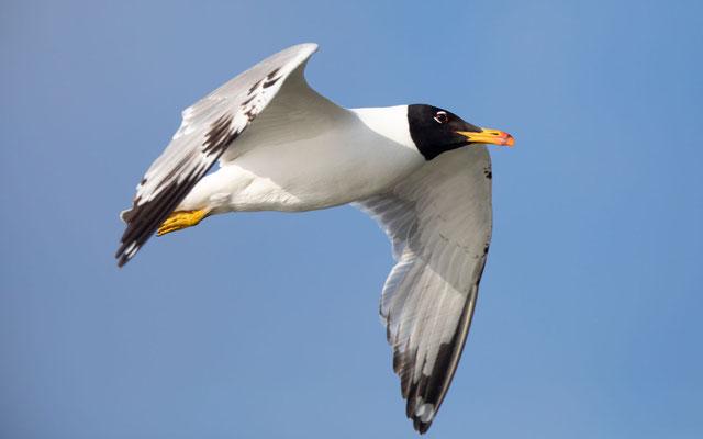 Fischmöwe (Pallas's Gull)