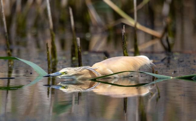 Rallenreiher (Squacco Heron)