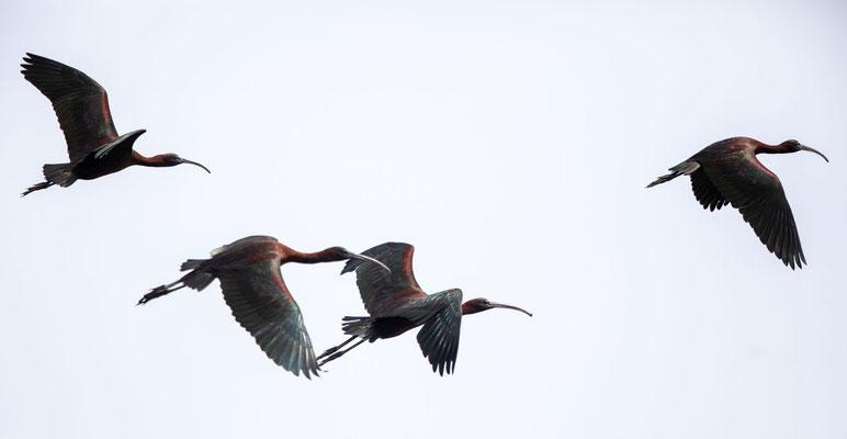 Brauner Sichler (Glossy Ibis)