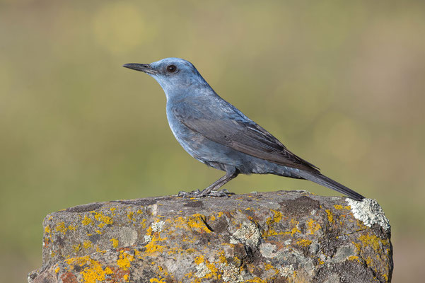 Blaumerle (Blue Rock Thrush)