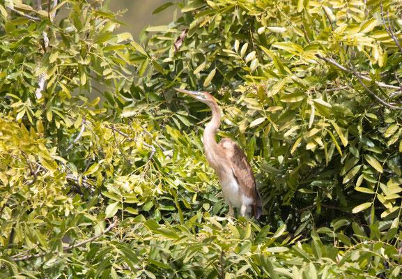 Kapverden-Purpurreiher endemisch (Bourne's Heron)