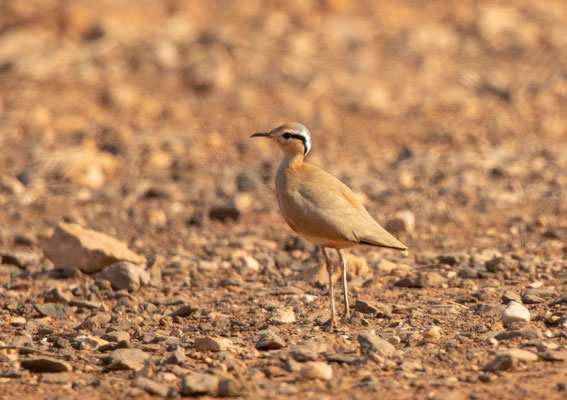 Rennvogel (Cape Verde cream-coloured courser)