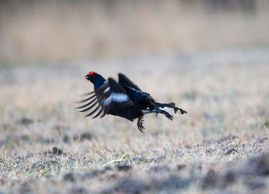 Birkhahn (Black grouse)