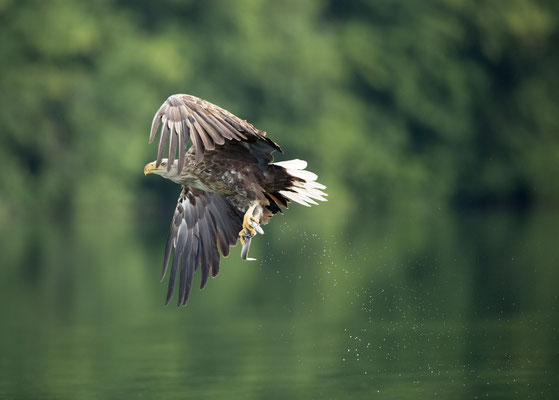 Seeadler (White-tailed Eagle)
