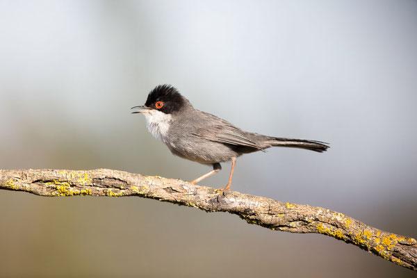 Samtkopfgrasmücke (Sardinian Warbler)