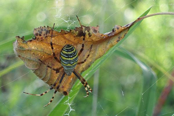 Argiope fasciée (araignée frelon)