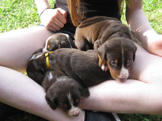 Sennenhundewelpen