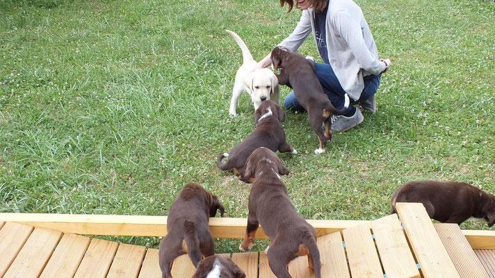 Appenzeller aus dem Flößerdorf und Labrador Bruno