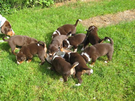 Sennenhunde um den Welpennapf