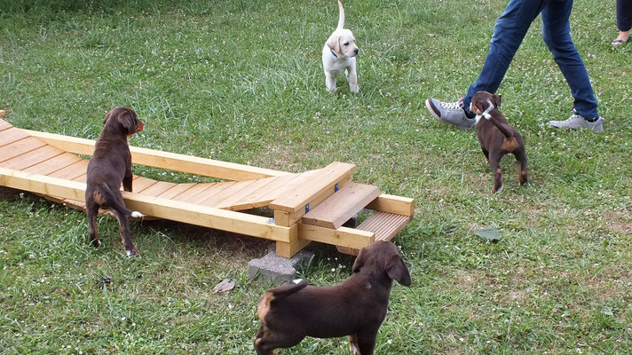 Appenzeller und Labrador Welpen
