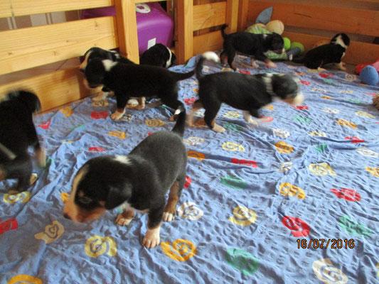 Appenzeller Sennenhunde Welpen 2016 aus dem Flößerdorf