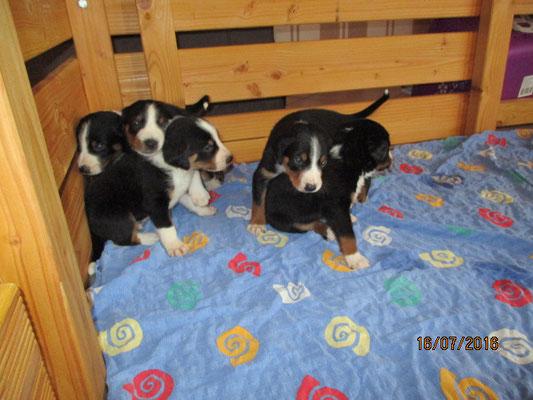 Sennenhundewelpen von Kirsten Becker