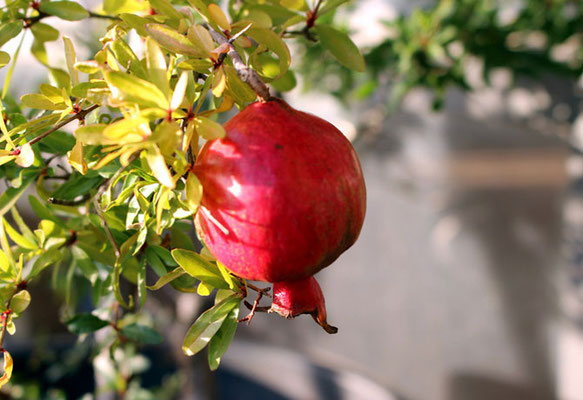 Pomegranate in the garden