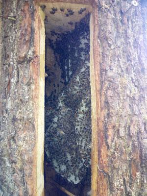 Naturwabenbau - Bauen wie es die Bienen wollen...