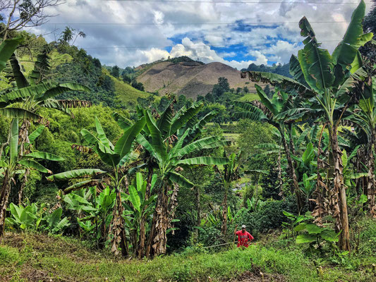 Kaffeeplantage mit Bananenstauden