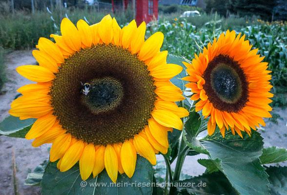 Hummel an Sonnenblume.