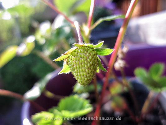 Die erste Erdbeere!