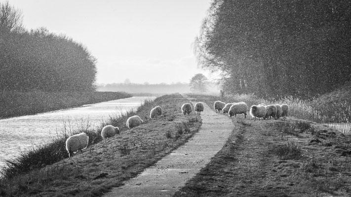 schapen op de dijk (BW)