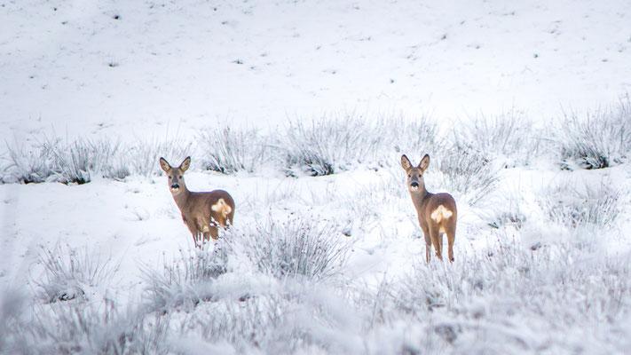 Reeën in sneeuwlandschap
