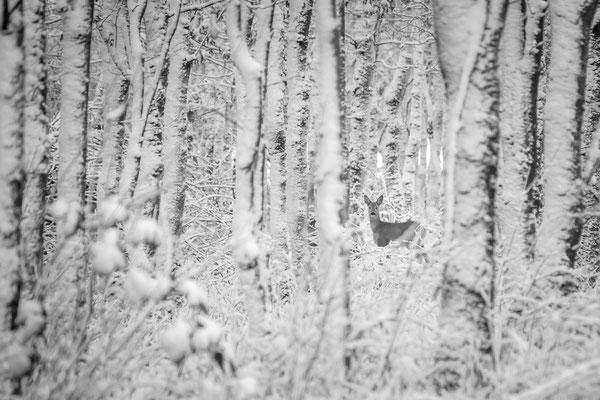 Ree in winters bos (zwartwit)