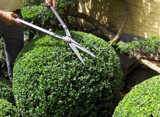 Buxus schneiden Eberhard Gartenbau AG Kloten