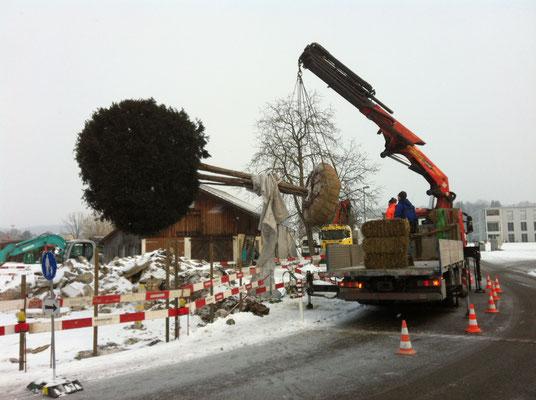 Transporte von grossen Pflanzen, Eberhard Gartenbau AG Kloten