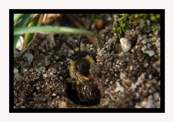 Sortie d'une abeille femelle / Les femelles sur ce territoire sont rousses, les mâles blonds