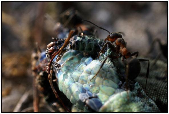 Lézard dépecé par les fourmis rousses