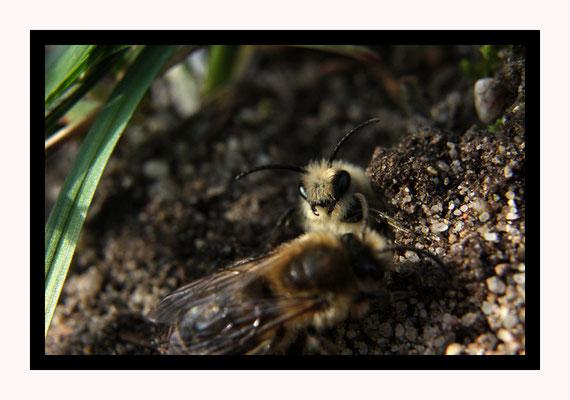 Entrée d'un nid collectif, petit accrochage d'un jeune mâle en défense avec une femelle