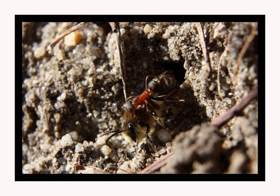 Prédation / Une fourmi rousse attaque une abeille à la sortie du nid