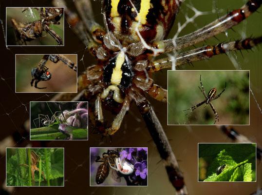 Composite arachnides