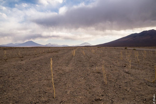 Quinoa Anbau, Bolivien