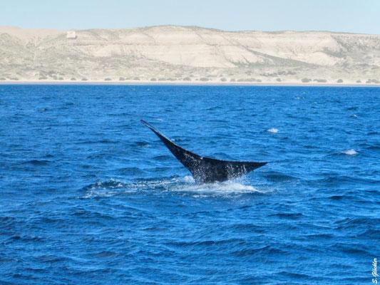 man sieht die Wale auch schon vom Strand aus