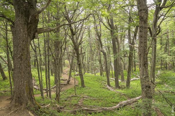 Durch patagonischen Lenga-Wald (Scheinbuche) zum Refugio Frey