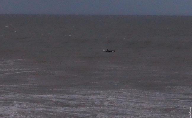 Orca am Hafen von Mar del Plata
