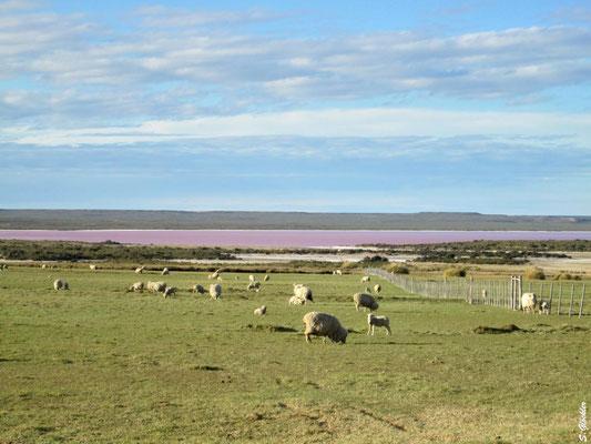 Schafe grasen rund um die Salzseen