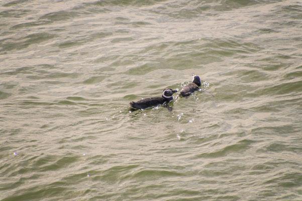 Pinguine sind hervorragende Schwimmer, an Land hingegen wirken sie oft unbeholfen